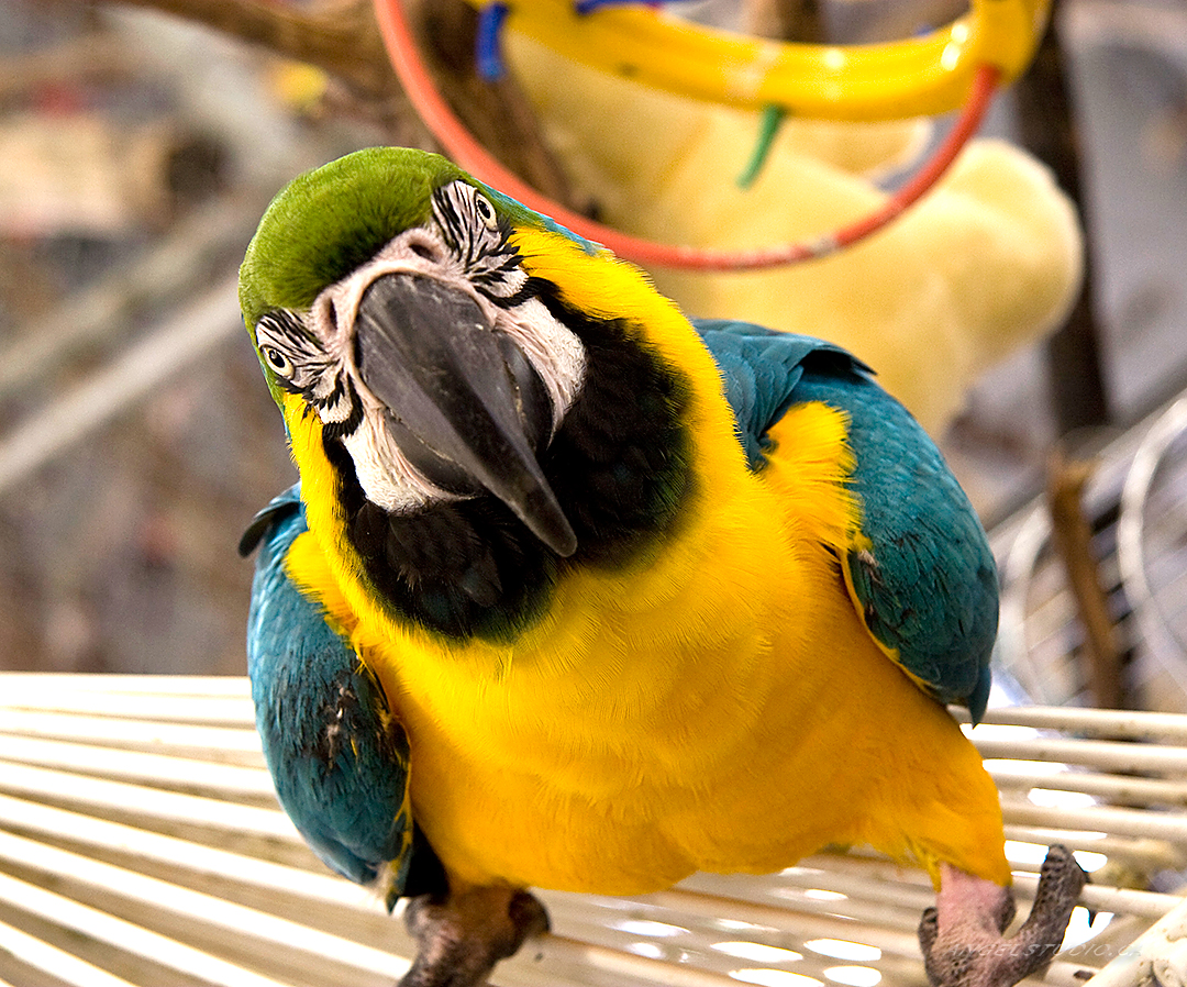 parrot face, parrot